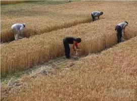 三十年前割麦的童年