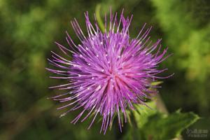 七七盖,或紫蓟花