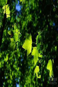 丰子恺:梧桐树